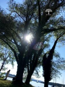 Baum auf der Fraueninsel im Chiemsee